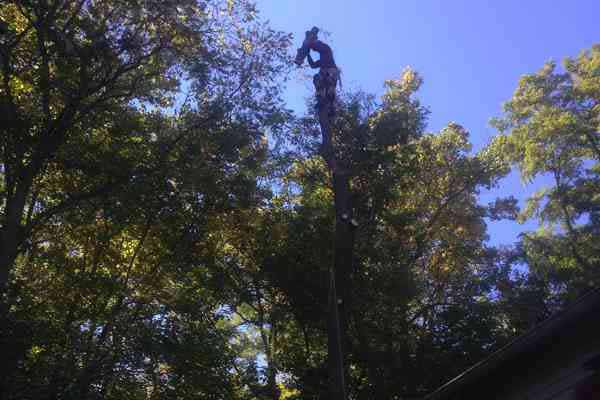 Removal of leaning White Ash tree at Archibald Johnston Estate
