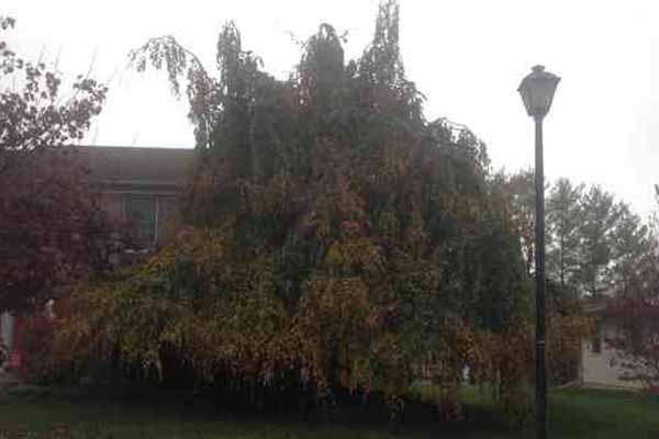 Weeping Beech tree before crown reduction and elevation.