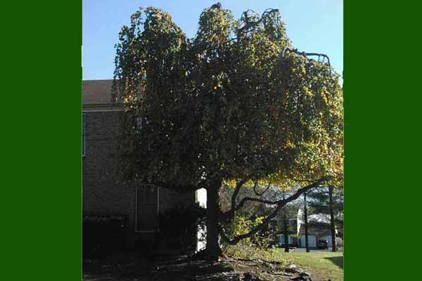 Weeping Beech tree after crown reduction and elevation.