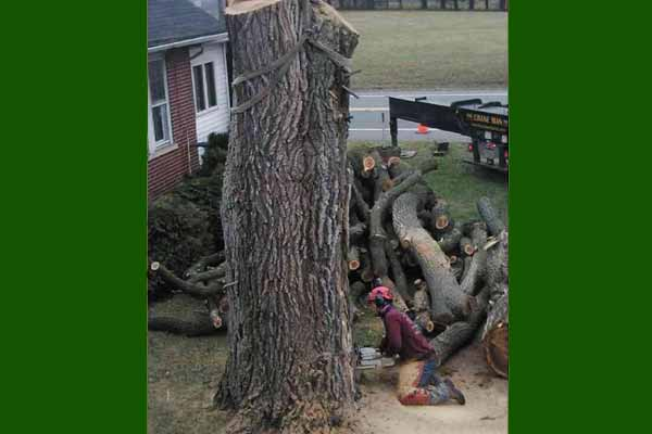 Siberian Elm tree removal