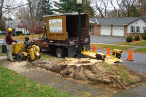 Large Norway Maple stump being ground
