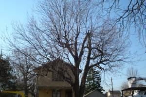 Silver Maple before pruning