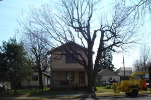 Silver Maple after pruning