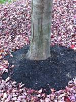 Excessively mulched Red Maple before root collar excavation