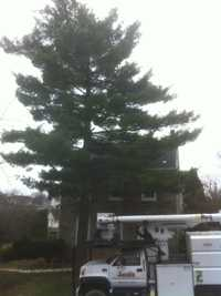 Before White Pine removal