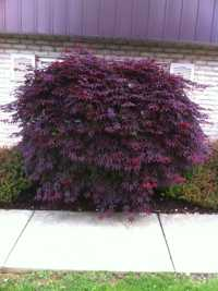 Japanese Maple before thinning and reduction