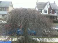 Weeping Cherry before thinning and crown cleaning
