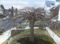 Weeping Cherry after thinning and crown cleaning
