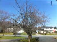 Before Thinning And Reduction on Kwanzan Cherry