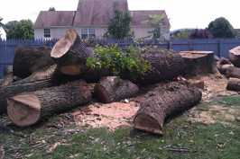 After felling trunk of large dying Red Oak tree