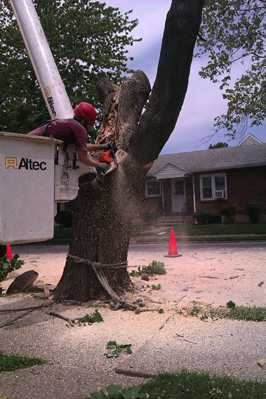 Removal of Norway Maple tree
