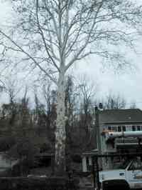 Elevation of large Sycamore over homes and utility lines.