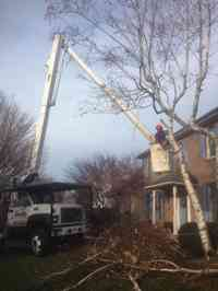 Removal of a declining borer infested White Birch tree.