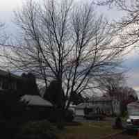 Red Maple tree before structural pruning it and clearing it from a home.