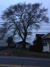 Before the removal of a large Siberian Elm tree with a crane.
