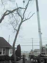 During the removal of a large Siberian Elm tree with a crane.