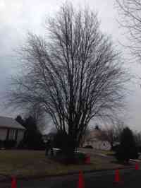 Red Maple tree before structural pruning and crown elevation.