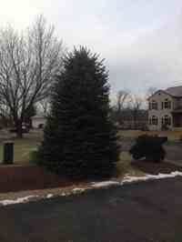 Blue Spruce tree before crown reduction and shaping.