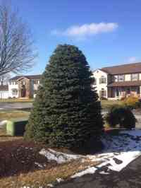 Blue Spruce tree after crown reduction and shaping.