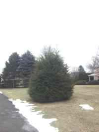 Hemlock tree before crown reduction and shaping.