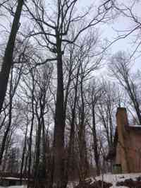 Pruning a large Red Oak.
