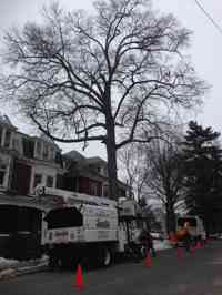 Pruning a historic tree.
