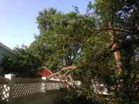 Storm damaged Mulberry tree.